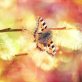 Motyla noga